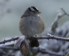White-crowned Sparrow. Photo by Thomas Roach