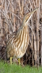 American Bittern at Sacramento NWR. Photo by Carole Haskell