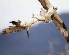 Osprey and Red-tailed Hawk battle over Clear Lake Hitch. Photo by Lyle Madeson