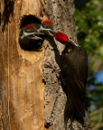 Pileated Woodpecker and chicks at Clear Lake State Park. Photo by Lyle Madeson: 1024x1303.5360678925
