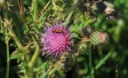 Insect on Thistle