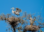 Heron rookery at Clear Lake State Park. Photo by Harvey Abernathey: 1024x752.45344129555