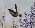 Anna's Hummingbird at Cosumnes River Preserve. Photo by Bruce Miller: 1024x819.2