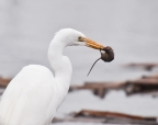 Egret and mouse at Cosumnes Preserve. Photo by Robert Lowe: 1024x804.8