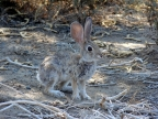 Desert cottontails survive by blending in with their background and having