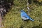 Mountain Bluebird at Eagle Lake. Photo by Tom Pritchard.