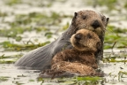 Sea Otters at Elkhorn Slough. Photo by Cindy Tucey