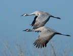 Sandhill Cranes at Merced National Wildlife Refuge. Photo by Gary Powell: 999x768