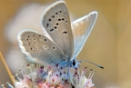 Endangered Mission Blue Butterfly at GGNRA. Photo by Jessica Weinberg