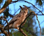 Immature Great Horned Owl at Grizzly Island. Photo by Jen Joynt