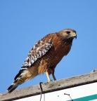 Red-shouldered Hawk at K-Dock. PHoto by Terry Eckhart