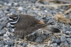 Kildeer at Sacramento NWR. Photo by Amanda Alaniz