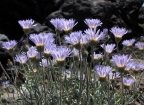Mojave Aster: 800x580