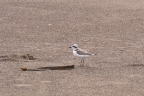 Snowy Plover on sand spit. Montana de Oro State Park