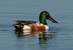 Northern Shoveler at Little Lake Overlook. Photo by Stephen Creswell