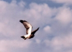 USDA Forest Service Osprey at Ft. Collins: 528x383