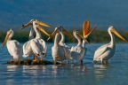 Pelicans at Elkhorn Slough. Photo by Jim Duckworth