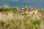 Coyote at Point Reyes. Photo by Jen Joynt