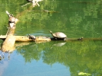 Pond Turtles at Clear Lake