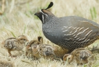Quail and chicks at Golden Gate NRA. Photo by Jessican Weinberg