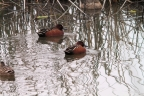 Cinnamon Teal at Sacramento NWR. Photo by Claire Ames