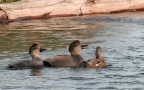 Gadwalls at Sacramento NWR. Photo by Terry Germany
