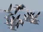 Snow Geese at Sacramento NWR. Photo by Carole Haskell