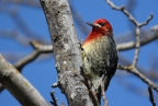 Red-breasted Sapsucker at Bidwell Park. Photo by Tom Pritchard: 1024x683.02634351949