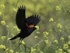 Red-winged Blackbird at Yolo Bypass Wildlife Area. Photo by Phil Robertson